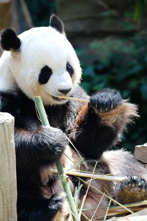 wild asia: Giant panda bear eating dry bamboo close-up