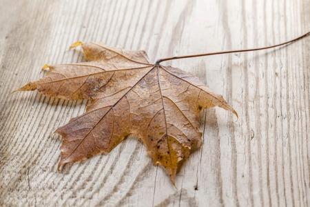 autumn colour: Beautiful fallen autumn maple leaf on wood background