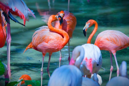 Group of pink flamingos feeding on water close up
