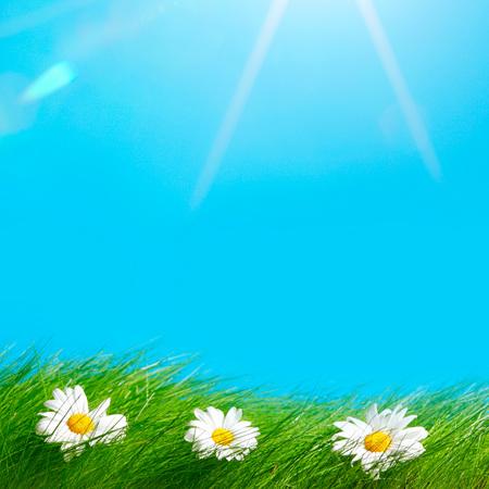Spring chamomiles in fresh green grass under blue sky