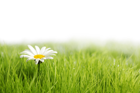 White daisy flower in green grass isolated on white background