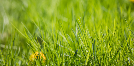 Perfect green background of fresh spring grass and yellow flower