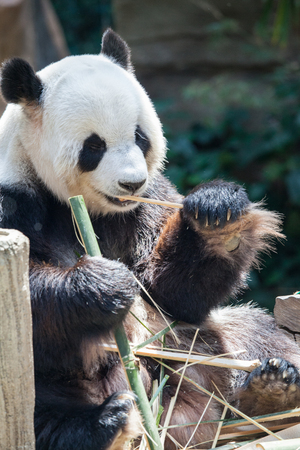 Giant panda (Ailuropoda melanoleuca). Wildlife animal. Eating bamboo