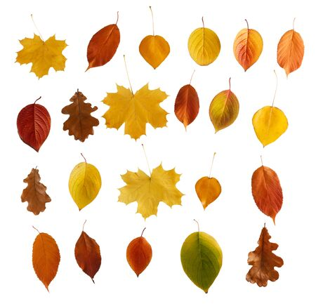 Set of colorful autumn leaves isolated over white background
