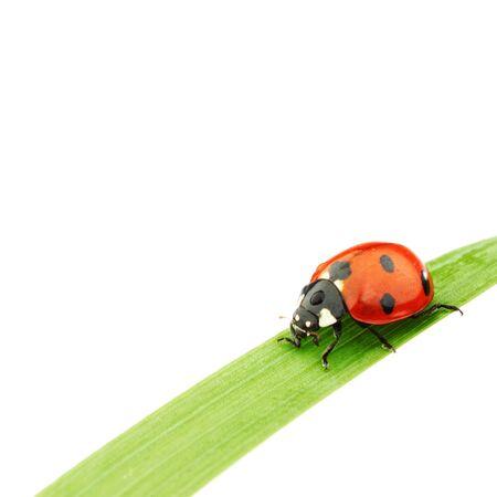 ladybug on grass isolated on white background macro Standard-Bild