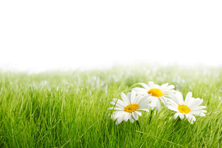 White daisy flowers in green grass isolated on white background, copy space for text