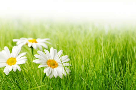 White daisy flowers in green grass isolated on white background, copy space for text Imagens