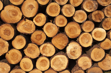 A pile of cut tree trunks photo