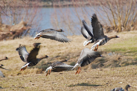 greylag: Group of geese taking off from a river bank for a flight Stock Photo