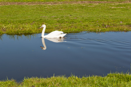 streamlet: White swan calmly paddling in the water of a small stream leaving a clear reflection in the water