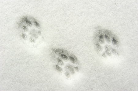Animal footprints in snow photo