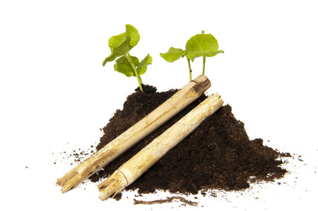 ornated: Young cuttings of seed of the Hibiscus growing out a pile of soil ornated with bamboo Stock Photo