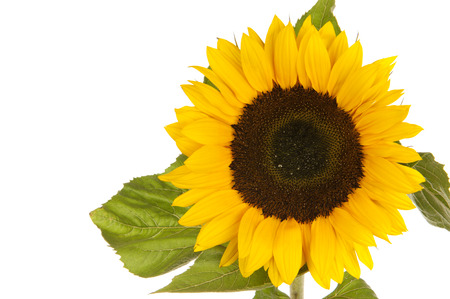 helianthus: Sunflower (Helianthus annuus) isolated in white