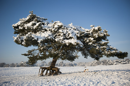 soest: Pine tree covered in snow in the wintery landscape of the Soester dunes in Soest, the Netherlands on december 20, 2010