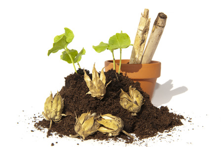 ornated: Young cuttings of seed of the Hibiscus growing out a pile of soil ornated with capsules, a terra cotta pot and bamboo sticks Stock Photo