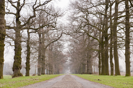 centered: Geometric symmetrical lane of old trees with centered car trail in winter