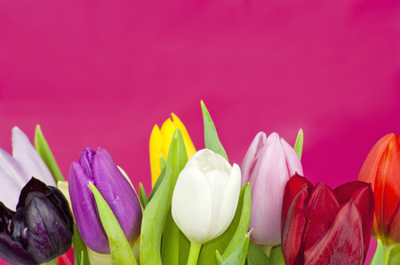 Colorful assorted Dutch Tulips on a violet background photo