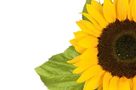 helianthus annuus: Sunflower, alias Helianthus annuus, sliced halfway isolated in white Stock Photo