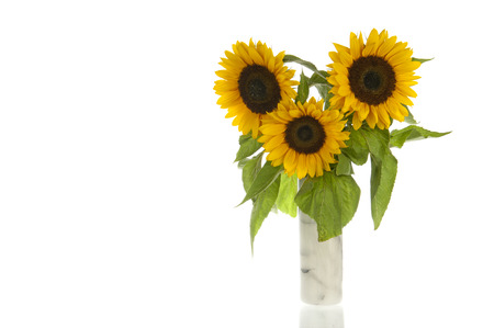Three Sunflowers, alias Helianthus annuus, in gray marble vase and isolated in white photo