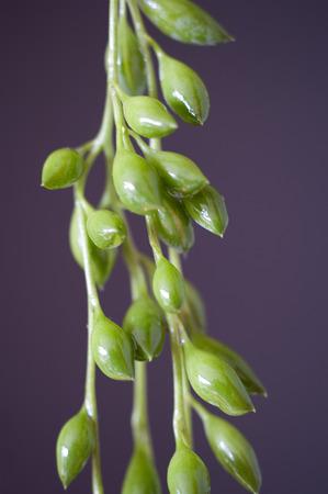 senecio: Creeping Berry (Senecio Radicans) hanging free Stock Photo