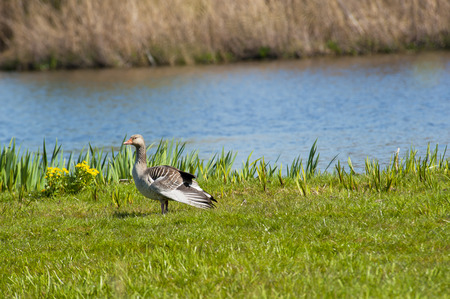 river bank: Goose foraging in the grass at a river bank Stock Photo
