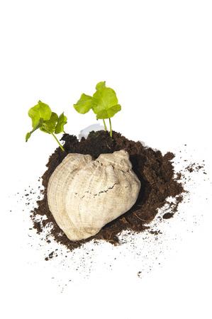ornated: I giovani talee di sementi della Hibiscus cresce di un mucchio di terreno ornato con una conchiglia e prese dall'alto