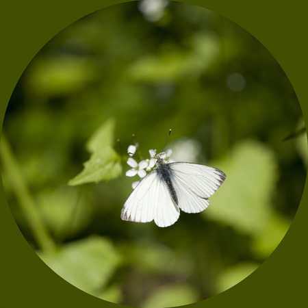 Tipical white cabbage butterfly (Pieris rapae) in a green background photo