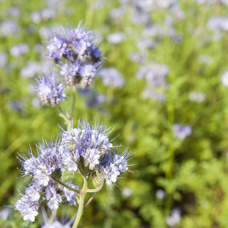 lila: Light blue wildflower in close up against green foliage