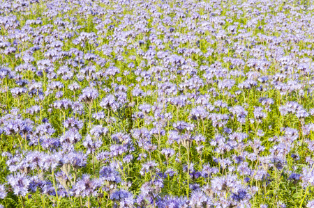 lila: Field of lila wildflowers in green flowerbed for honey bees