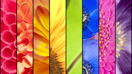 Rainbow collage of red orange yellow green blue pink violet purple colors of Dahlia Sunflower Fern leaf Anemone Windflower Gerbera and Poppy flowers in closeup separated with black strips photo