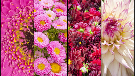 lila: Collage of pink purple lila Dahlia and Gerbera with yellow accents in close up separated with black strips