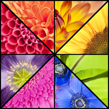 poppy leaf: Rainbow collage of red orange yellow green blue pink violet purple colors of Dahlia Sunflower Fern leaf Anemone Windflower Gerbera and Poppy flowers in closeup and in a square frame