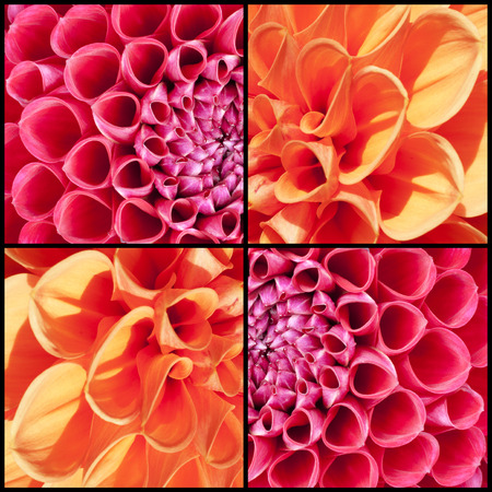 lila: Collage of orange and lila Dahlias in a square frame Stock Photo