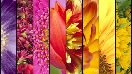 lila: Collage of purple Poppy pink Dahlia lila Gerbera red Tulip yellow Sunflower in close up separated with black strips Stock Photo