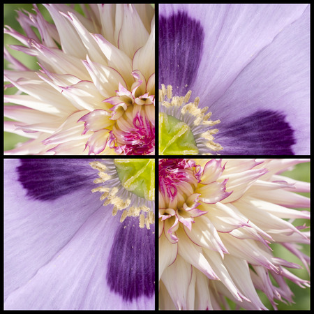 lila: Collage of pink purple Poppy and while lila Dahlia in a square frame and extreme closeup Stock Photo