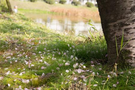 Sakura: fluttering petals photo
