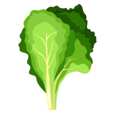 Fresh green salad plant. Nature organic vegetable leaves. Vegetarian food. Vector illustration isolated on white background