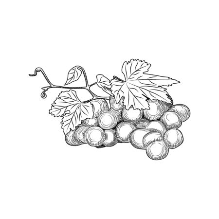 Hand drawn grape bunches and leaves. Engraving style. Isolated objects on white background. Vector illustration
