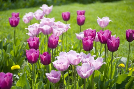 A group of different shades of purple tulips in Spring Stock Photo