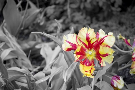 grayscale background: A simple flower outstanding over a grayscale background