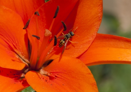 A wasp in an orange lily during summer photo