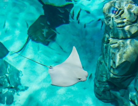 Manta rays are large eagle rays belonging to the genus Manta.They are classified among the Elasmobranchii (sharks and rays) and are placed in the eagle ray family Myliobatidae. photo