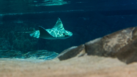 Manta rays are large eagle rays belonging to the genus Manta.They are classified among the Elasmobranchii (sharks and rays) and are placed in the eagle ray family Myliobatidae. Stock Photo - 23946671