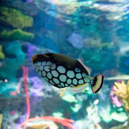 calcium carbonate: Le barriere coralline sono strutture sottomarine a base di carbonato di calcio secreto dai coralli. Le barriere coralline sono colonie di minuscoli animali trovati in acque marine che contengono poche sostanze nutritive.
