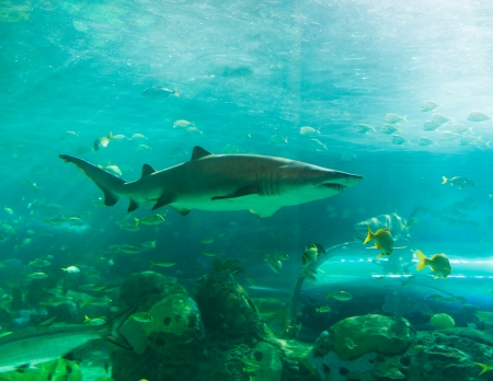 Sharks are a group of fish characterized by a cartilaginous skeleton, five to seven gill slits on the sides of the head, and pectoral fins that are not fused to the head. Stock Photo