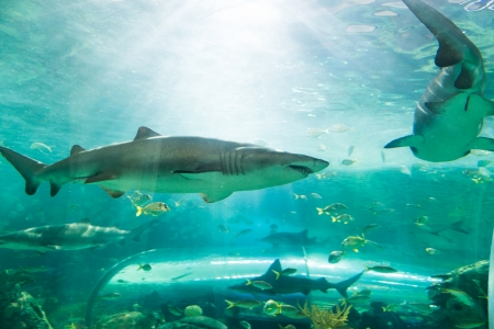 characterized: Sharks are a group of fish characterized by a cartilaginous skeleton, five to seven gill slits on the sides of the head, and pectoral fins that are not fused to the head. Stock Photo