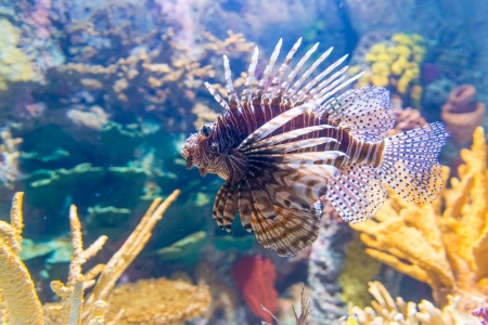 Pterois, commonly known as lionfish, is a genus of venomous marine fish found mostly in the Indo-Pacific. Pterois is characterized by conspicuous warning coloration with red, white, creamy, or black bands, showy pectoral fins and venomous spiky fin rays