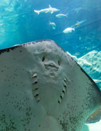 Stingrays are a group of rays, which are cartilaginous fishes related to sharks Stock Photo - 23946760