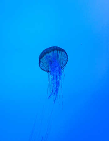 Jellyfish or jellies are the major non-polyp form of individuals of the phylum Cnidaria. They are typified as free-swimming marine animals consisting of a gelatinous umbrella-shaped bell and trailing tentacles. The bell can pulsate for locomotion, while s photo
