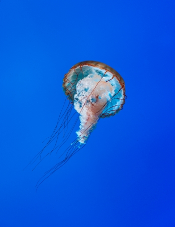 Jellyfish or jellies are the major non-polyp form of individuals of the phylum Cnidaria. They are typified as free-swimming marine animals consisting of a gelatinous umbrella-shaped bell and trailing tentacles. The bell can pulsate for locomotion, while s Stock Photo - 23946769